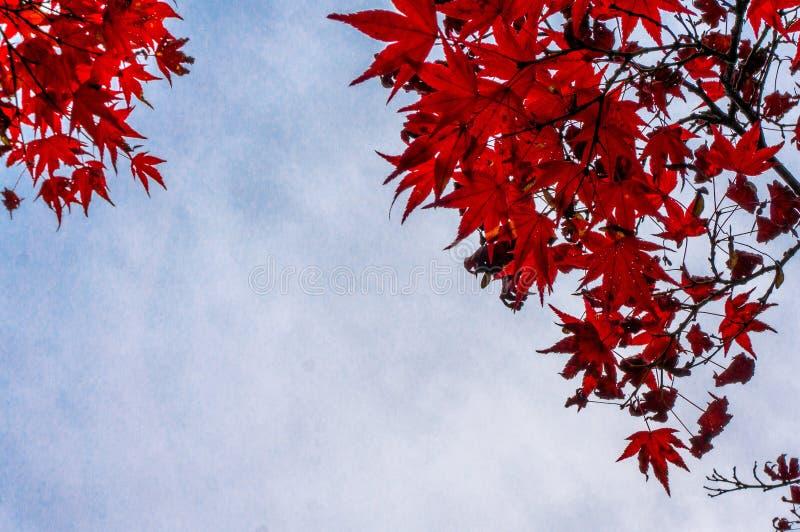 红色叶子在日本的秋天 库存图片