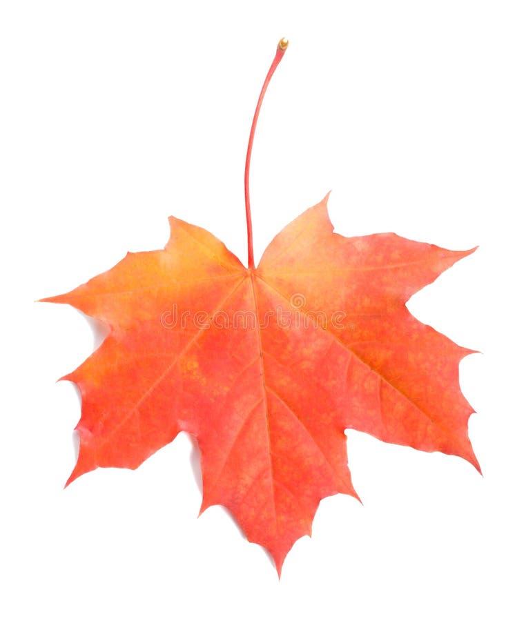 红色叶子的槭树选拔 免版税库存照片