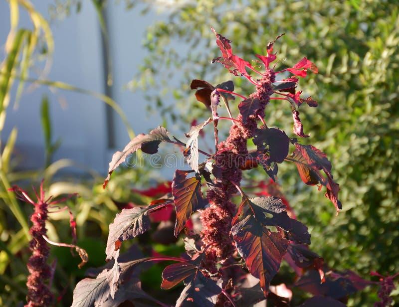 红色叶子缠结 免版税图库摄影