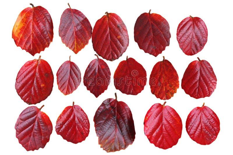 红色叶子集合 库存图片