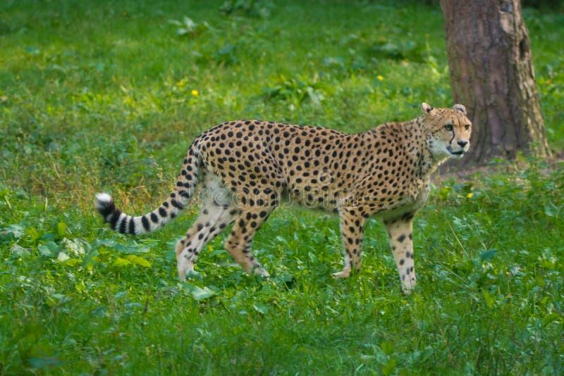红色名单动物-猎豹或cheeta,最快速的陆生动物,大 免版税库存图片