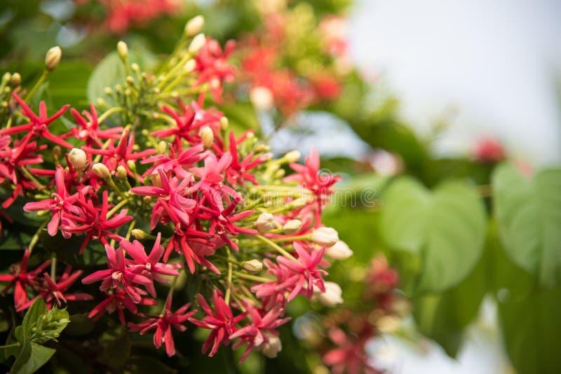 红色和桃红色仰光爬行物花 Quisqualis印度L 我 库存图片