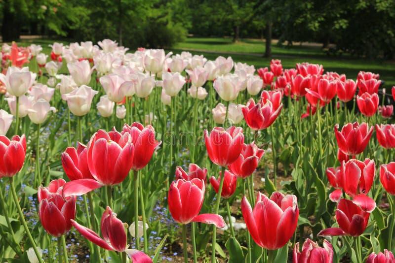 红色和桃红色郁金香花床 免版税库存照片
