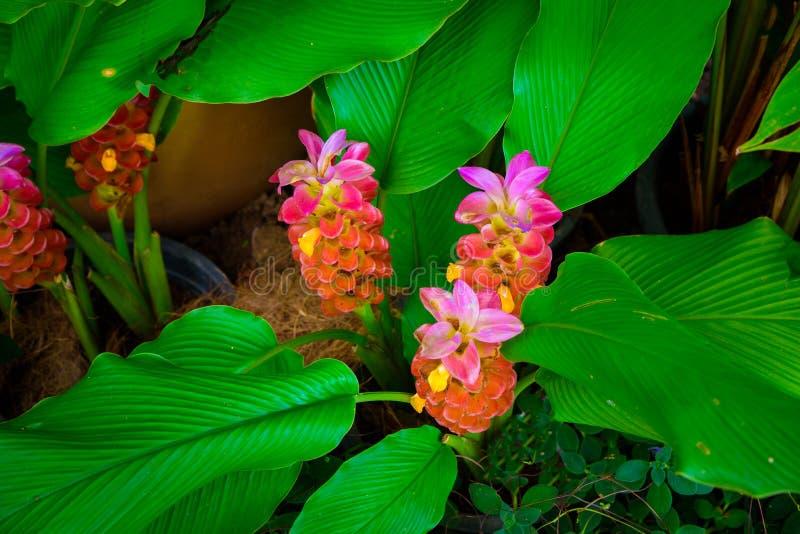 红色和桃红色高良姜花在有叶子的庭院里 库存图片