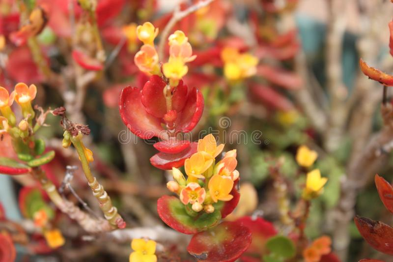红色和橙色口气的Kalanchoe植物 库存照片