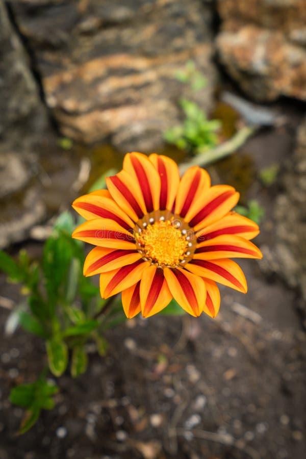 红色和橙色热带花 库存照片