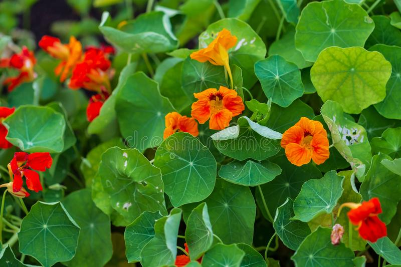 红色和橙色金莲花绽放在后花园里 免版税库存图片