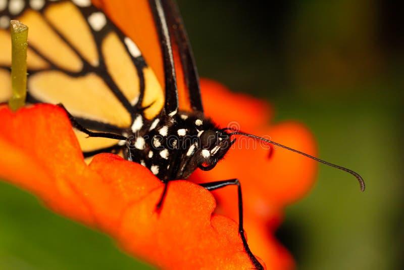 红色和橙色黑脉金斑蝶,宏观射击的关闭 图库摄影