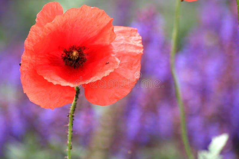 红色和淡紫色 库存照片