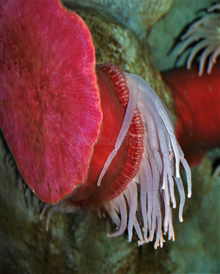 红色和白海银莲花属 免版税库存图片