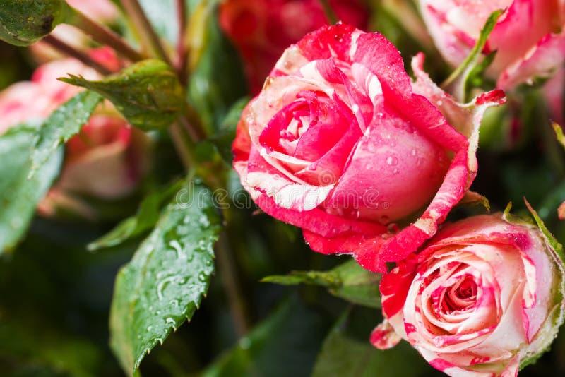红色和白玫瑰特写镜头 选择聚焦 免版税库存照片