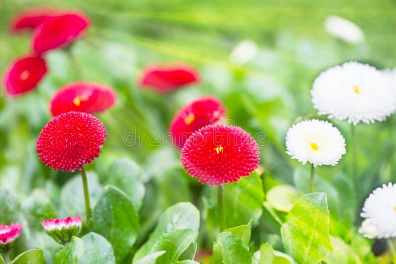 红色和白色翠菊花 免版税库存图片