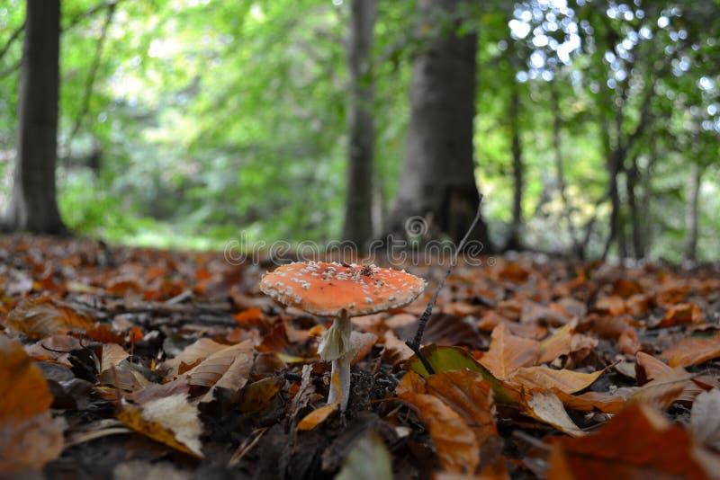 红色和白色蛤蟆菌特写镜头采蘑菇 免版税库存照片