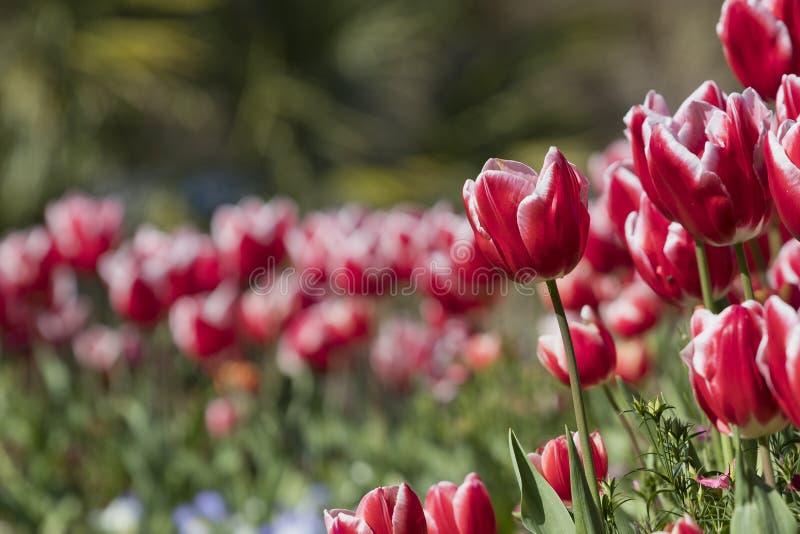 红色和白色郁金香开花球状药草gesneriana 库存照片