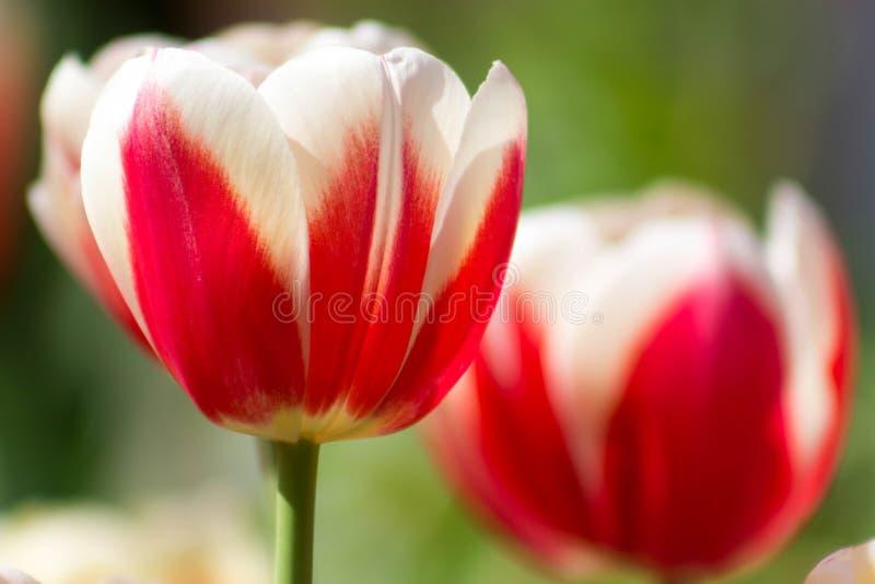 红色和白色郁金香特写镜头 免版税库存照片