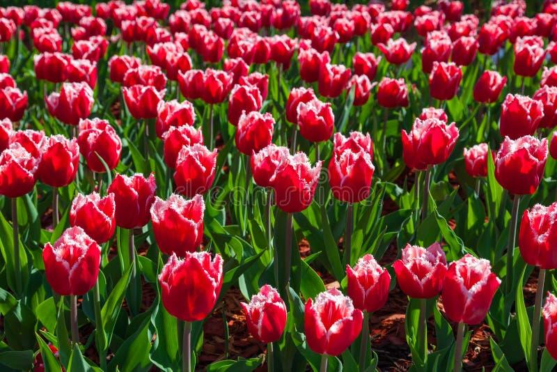 红色和白色郁金香美丽的花束  郁金香标志春天庆祝 图库摄影