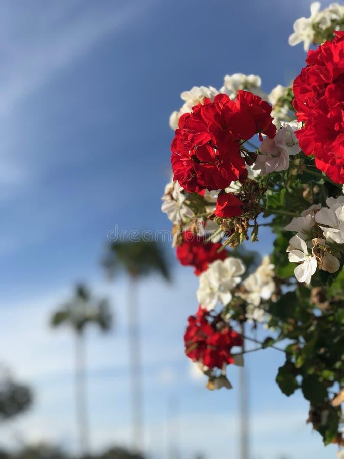 红色和白花发光 免版税库存图片