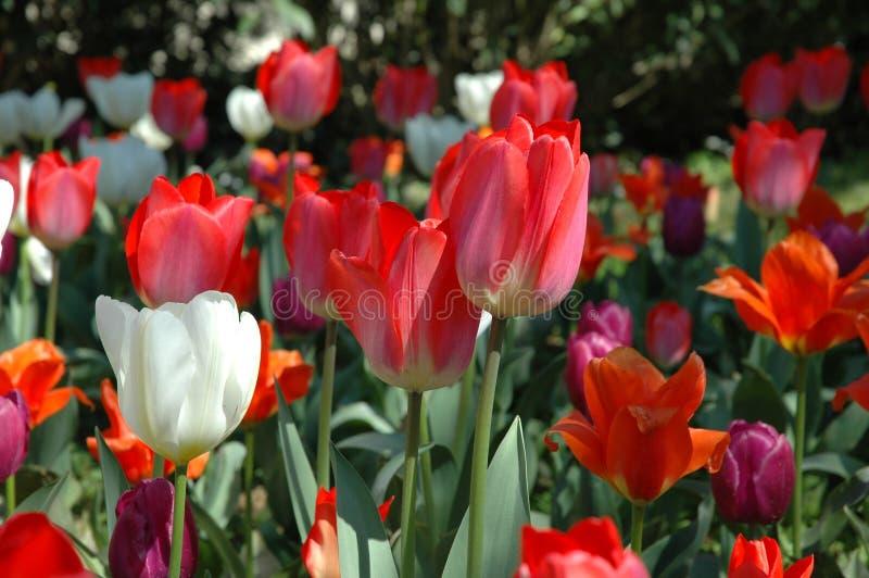 红色和空白郁金香 免版税库存照片