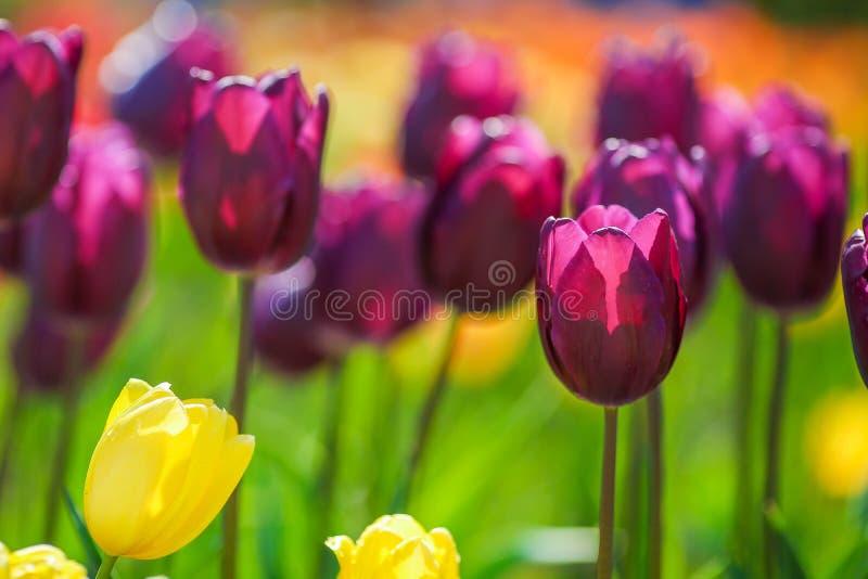 红色和紫色新鲜的郁金香沼地  E 库存图片