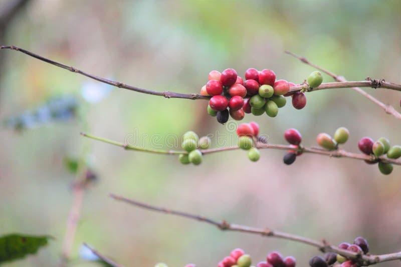 红色和绿色咖啡樱桃 免版税库存照片