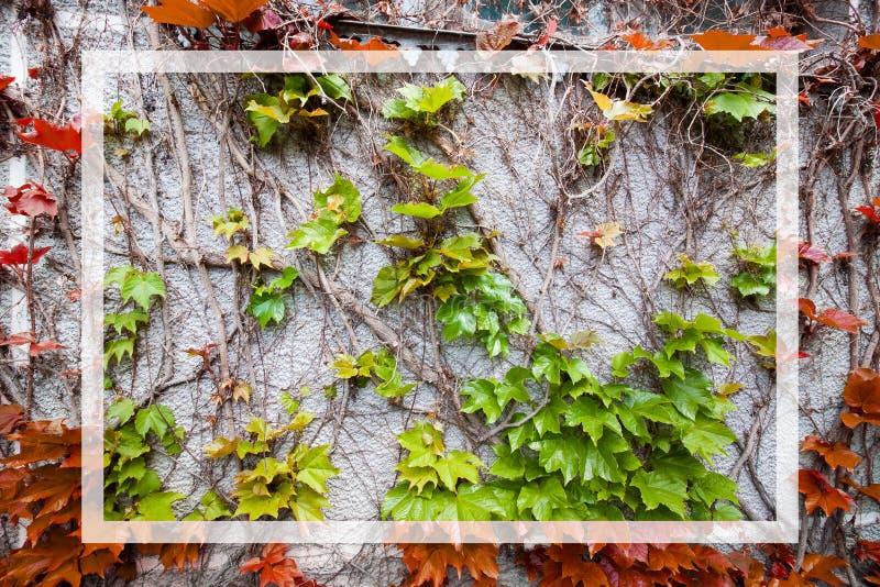 红色和绿色常春藤在一个白色长方形框架离开在一个灰色混凝土墙,背景纹理表面照片 库存图片