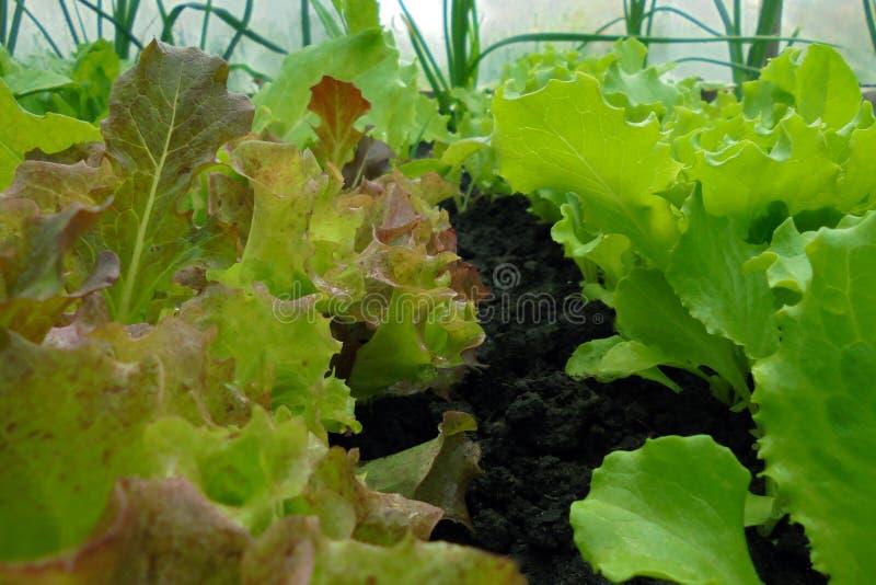 红色和绿色莴苣水多的新鲜的叶子在庭院里自温室 库存图片