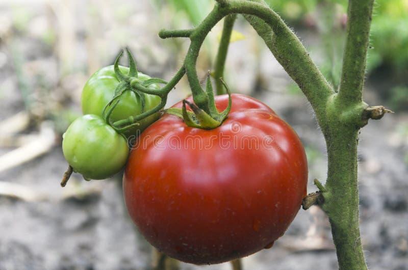 红色和绿色蕃茄特写镜头在庭院里 库存图片