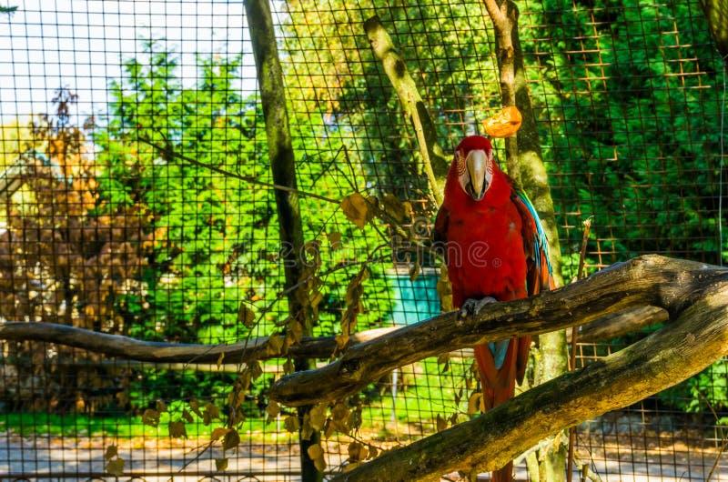 红色和绿色金刚鹦鹉鹦鹉坐一个树枝在鸟舍,从美国的热带鸟,普遍的宠物在养鸟方面 图库摄影