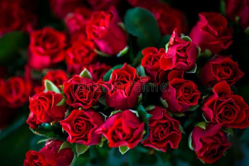 红色和美丽的玫瑰 库存图片
