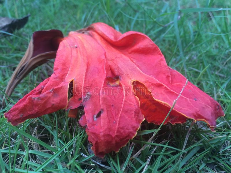 红色和黄色叶子,当秋天 免版税图库摄影