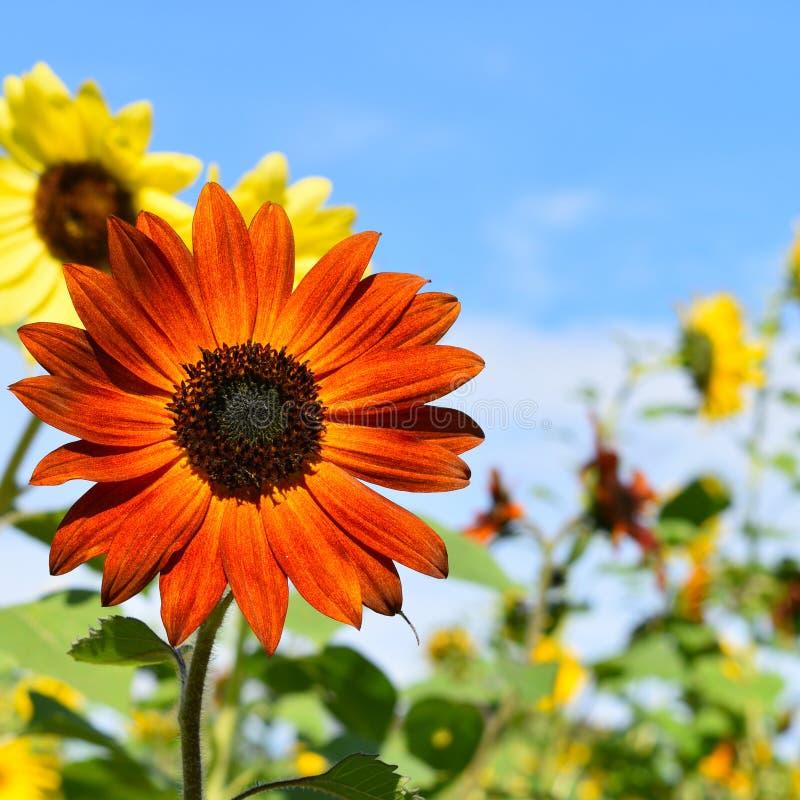 红色和黄色向日葵在秋天天在Littleton,马萨诸塞,密德萨克斯郡,美国 新英格兰秋天 免版税图库摄影