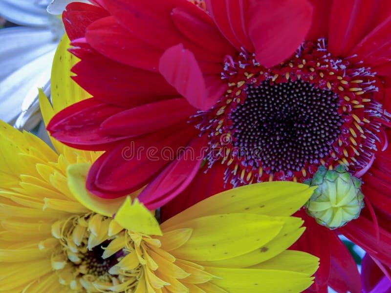 红色和黄色大丁草花 图库摄影