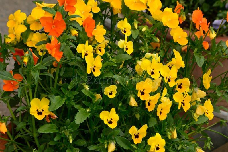红色和黄色美丽的花在庭院发光了在太阳 免版税库存照片