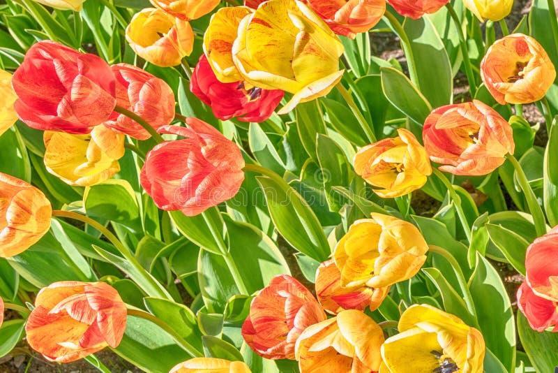 红色和黄色郁金香在庭院里在春天的好日子下 库存图片