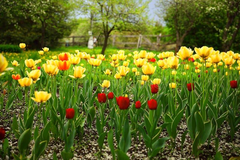 红色和黄色郁金香在庭院里 免版税图库摄影