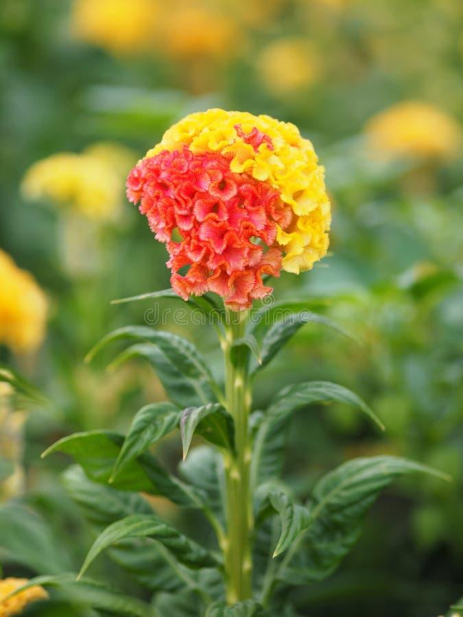 红色和黄色Cockscomb花命名花在大小上是小的,但是同心协力入同样的鸡冠花cristata 免版税图库摄影
