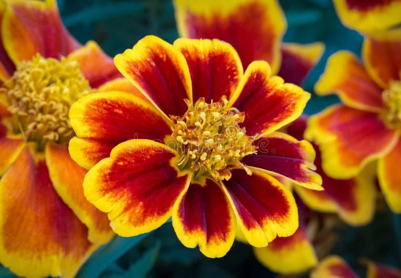 红色和黄色万寿菊花 库存图片