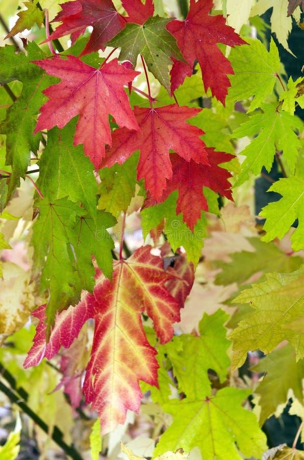 红色和绿色槭树叶子 图库摄影