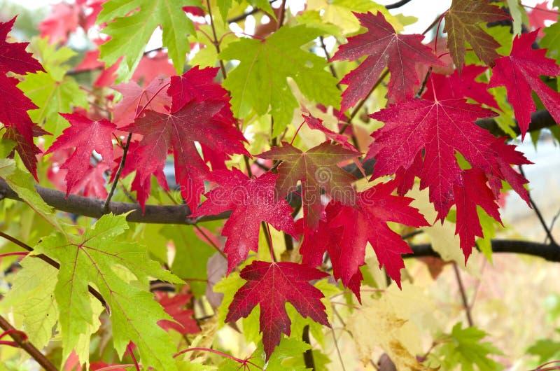 红色和绿色槭树叶子 库存图片