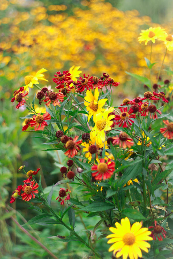 红色和黄色海胆亚目和coneflowers 库存照片
