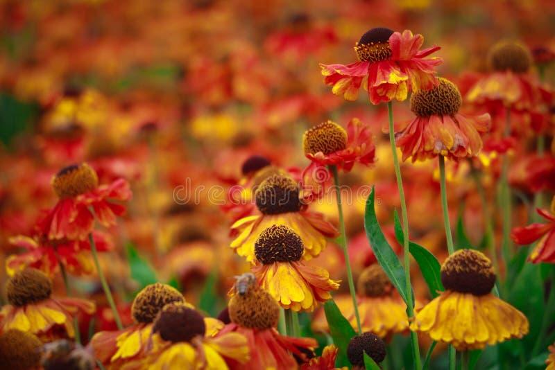 红色和黄色海胆亚目和coneflowers 图库摄影