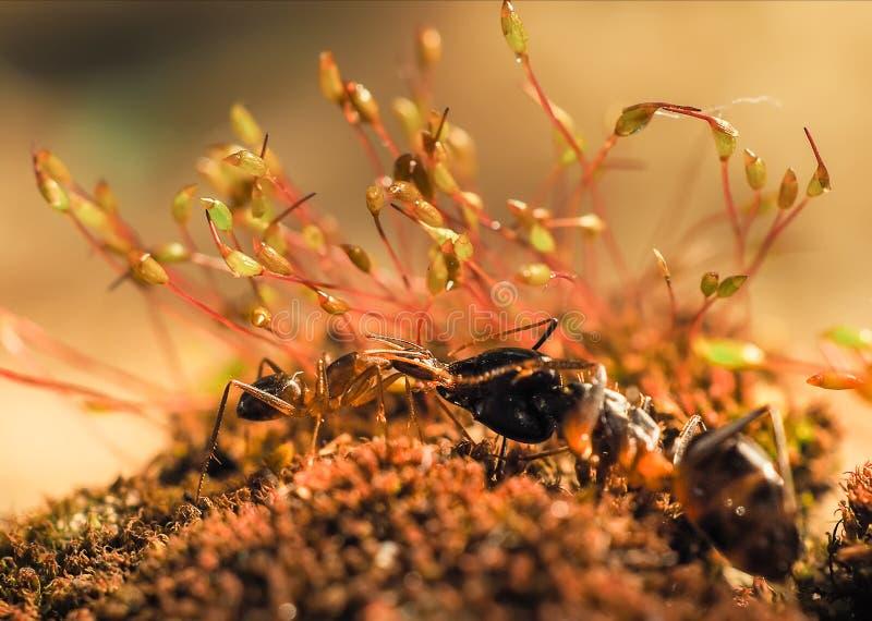 红色和黑蚂蚁在叶子,蚂蚁战斗 免版税图库摄影