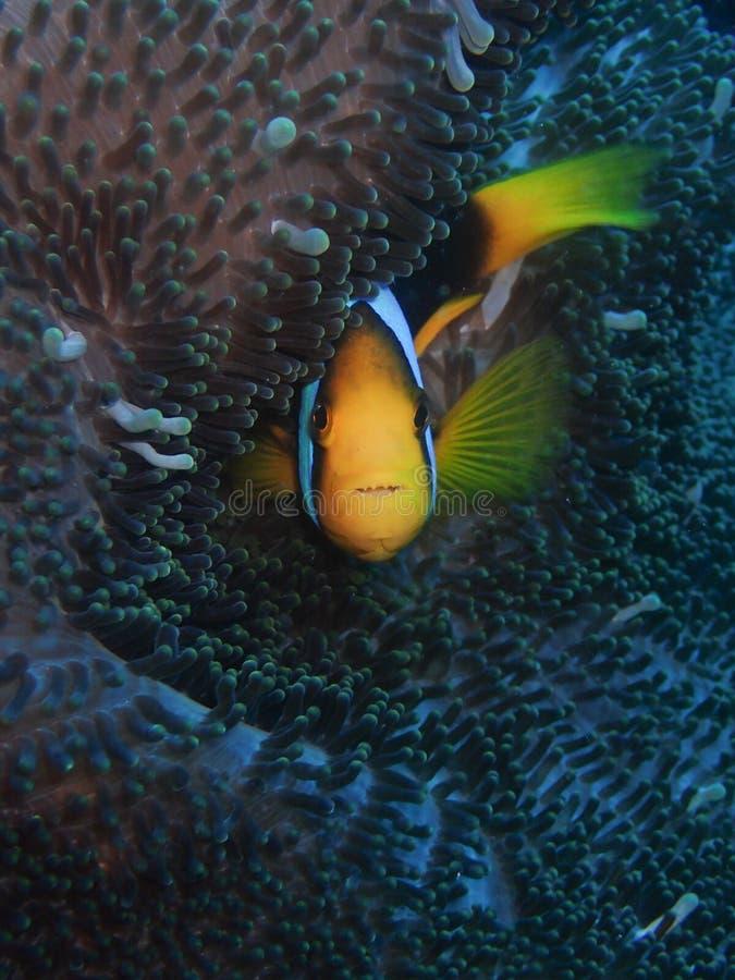 红色和黑银莲花属鱼 免版税库存图片