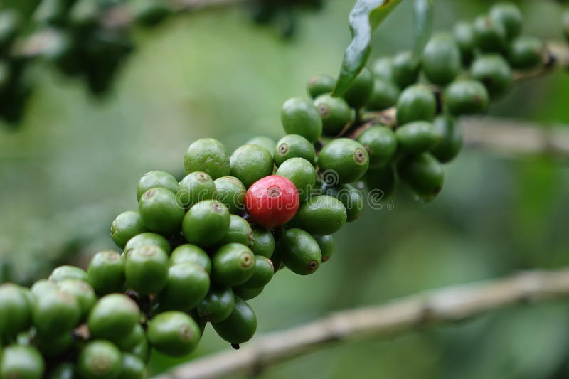 红色咖啡豆 免版税库存照片