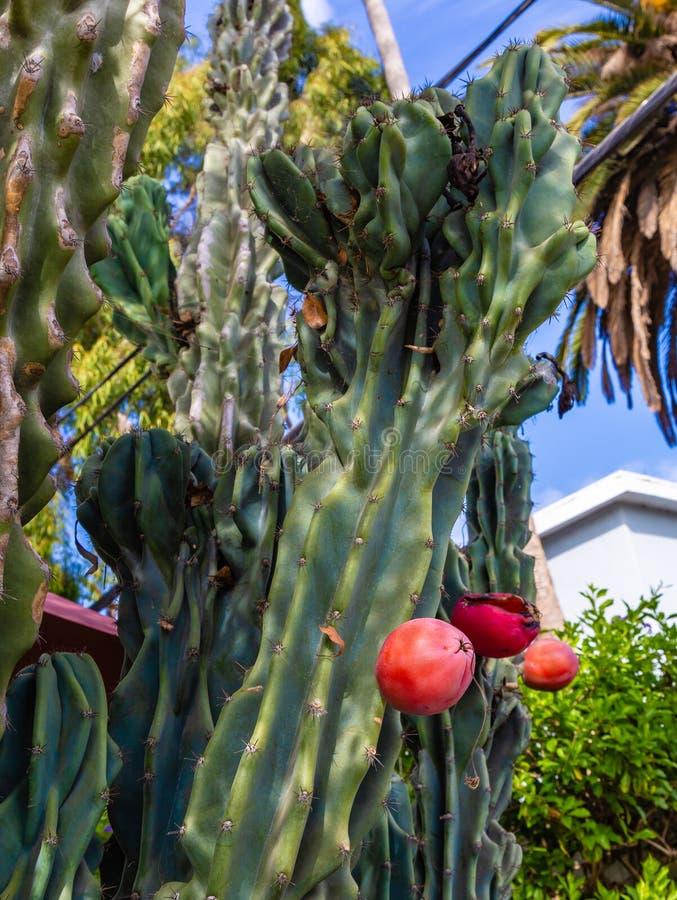 红色圣佩德罗仙人掌果子 免版税图库摄影
