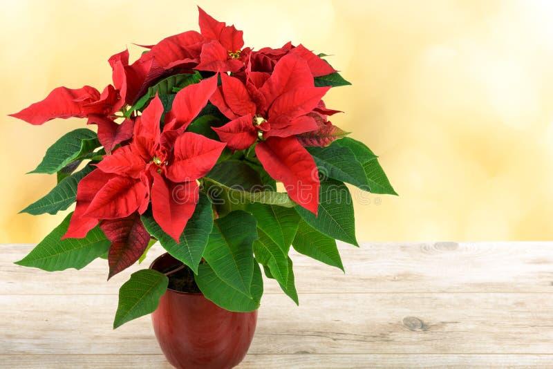 红色圣诞节一品红 免版税图库摄影
