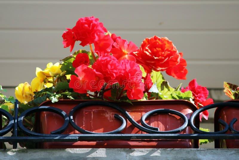 红色在一个罐的花开花的秋海棠在房子的阳台 免版税库存照片