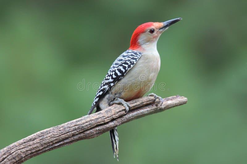 红色在分支的鼓起的啄木鸟 库存图片