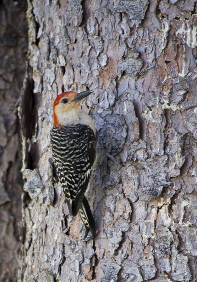 红色在杉树的鼓起的啄木鸟 库存照片