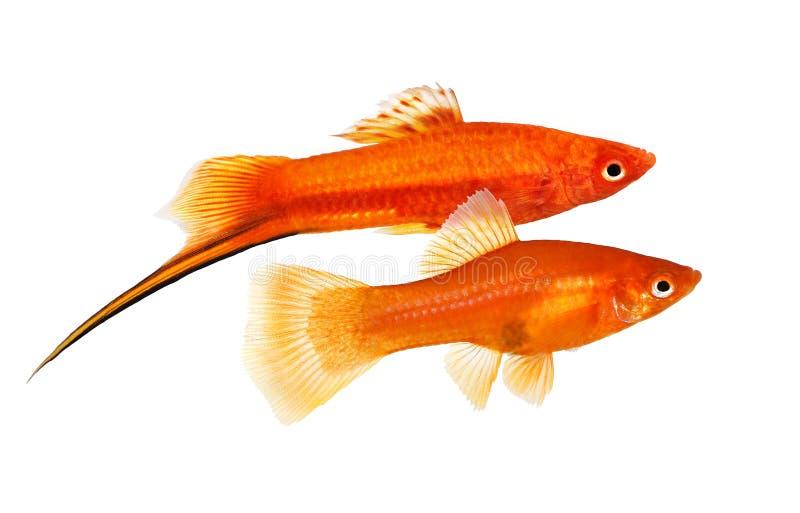 红色在白色隔绝的Swordtail对Xiphophorus剑尾鱼男女水族馆鱼 免版税库存图片
